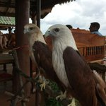 Two Sea Eagles at muslim fishing village Koh Panyee
