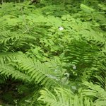 Lush ferns along the trail