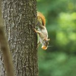 Red squirrel at the state park