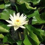 Water Lili flower