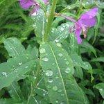 Fire weeds in rain