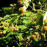 Blackberries Gratis