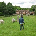 Chasing sheep in Avebury, UK