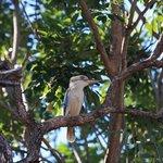 Kookaburra at Lakeside