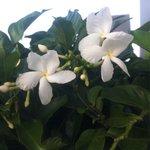 プールサイドに咲いていた花 いい香りしたよ