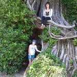Grandmother Tree at Crystal Cove