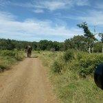 Kudde olifanten steekt over voor de safariwagen, april 2014