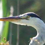 Grey Heron Parc Ornotholgique Pont de Gau