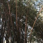 Beautiful bamboo around the entrance area. My picture doesn't do it justice.