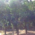 Lemon, lime, orange and mandarin trees.