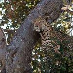 Leopard in Moremi Park