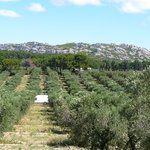L'oliveraie vue du rocher