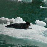 Seals on ice blocks