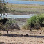 Endangered Sable Antelope