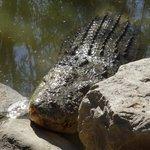 Large male croc