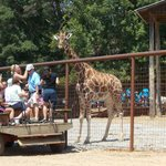 You can get up close, even with the giraffes!