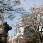 Hachiko and cherry blossoms ♪