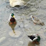 Lovely ducks at the Creekstone Inn