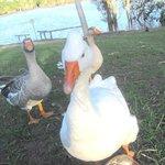 Beautiful gentle geese