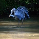Blue heron fishing in the main river.