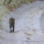 a female leopard walking away from us