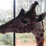 a giraffe near the deck