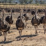 Ostriches in the Farm