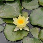 Seerosen im Teich des Jardin Majorelle