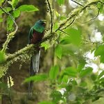Le Quetzal. Thanks to Andrès & Javier we've been able to film this incredible bird
