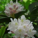 Rhododendrons along the creek