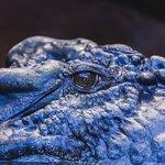 Eye of Cassius, the biggest captive croc