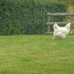 La poule cocotte