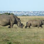 Rhinos at game reserve close by
