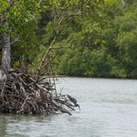 A heron hunts from a mangrove root.