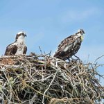 Osprey parent and chick.