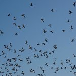 MORE SNOW GEESE