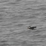Puffin (frame capture from video)