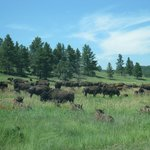 Buffaloes passing by