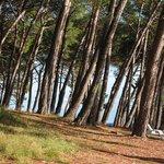 Pine shade beside the beach