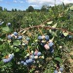 Reender's Blueberry Farm