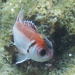 Squirrel Fish with Isopod (parasite)