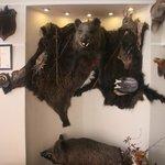 Indoor boars