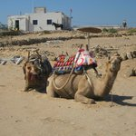 Dromadaires sur la plage Sidi Kaouki