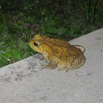 watch out for the big toads at night, they aren't very speedy