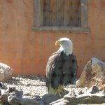 Cheyenne, the Bald Eagle