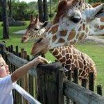 The Samburu Giraffe Feeding Station open daily from 11am to 4pm