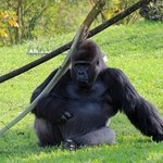 Jimmy the gorilla