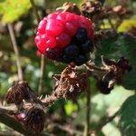 Plenty of blackberry picking