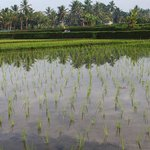 Rice paddy trek easy walk from Wapa di Umi