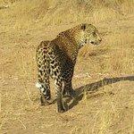 Young male leopard game drive motswari